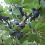 wild-plum